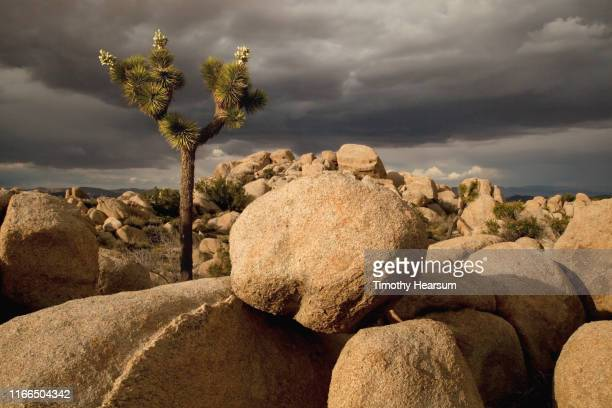 boulders and single joshua tree (with blossoms gone to seed) in the sunlight; dramatic dark sky beyond - timothy hearsum stock photos and pictures