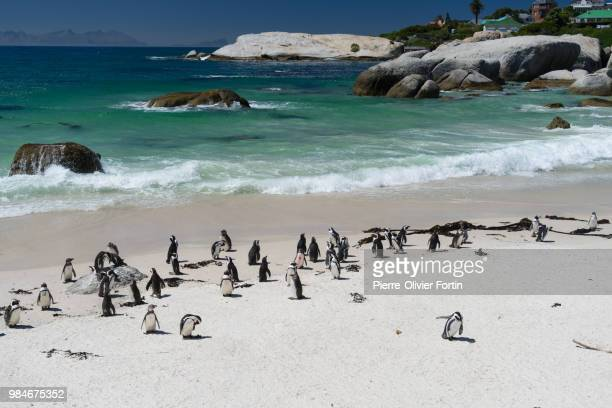 boulders beach cape penguins colony - african penguin stock pictures, royalty-free photos & images
