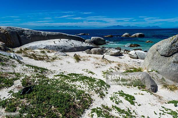 a nesting colony of african penguins on a beach near a town residential estate. - boulder county stock pictures, royalty-free photos & images