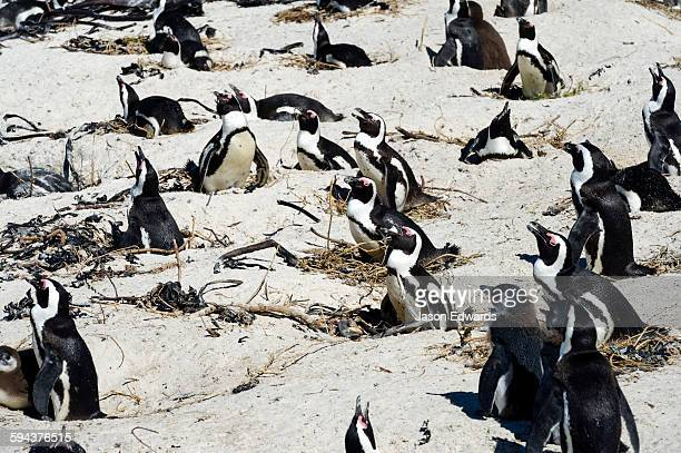 A nesting colony of African Penguins on a beach near a town residential estate.
