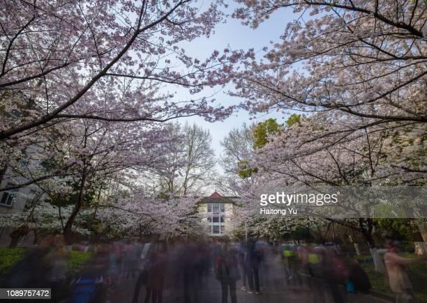 boulevard of cherry blossoms in nanjing, china - nanjing road stockfoto's en -beelden