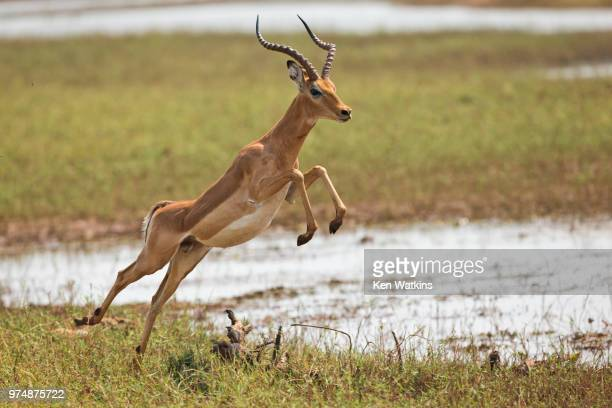 bounding - 動物の雄 ストックフォトと画像