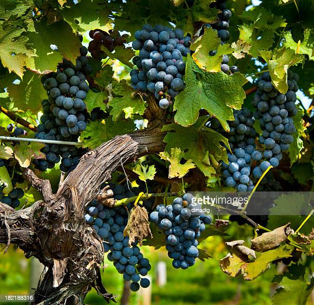 Bountiful Wine Grape Harvest