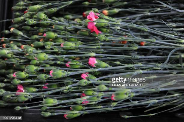 A bouquet of carnation is displayed at Flores de Funza farm in Funza Cundinamarca department Colombia on January 28 2010 Since late 2009 more than...