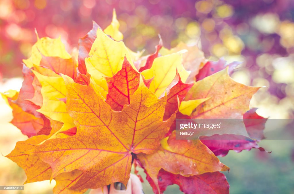 Bouquet of colorful autumn fallen leaves in a hand. : Stock Photo