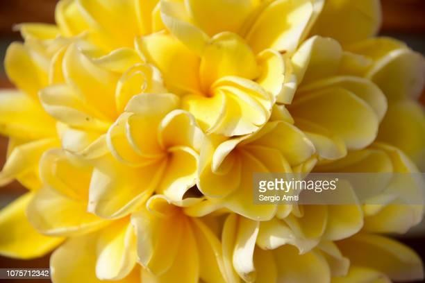 Bouquet of frangipani flowers