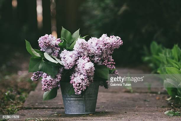 bouquet of lilacs freshly cut in a pot - ライラック ストックフォトと画像