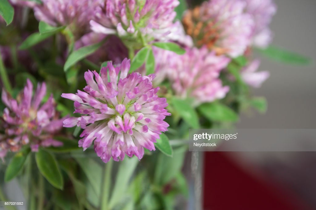 Bouquet Of Purple Clover Flower In Pot Stock Photo Getty Images