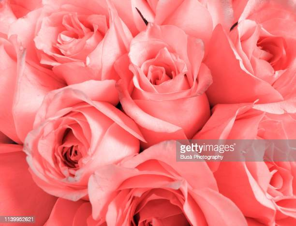 a bouquet of roses (color manipulation with living coral pantone, color of the year 2019) - rose colored stock pictures, royalty-free photos & images