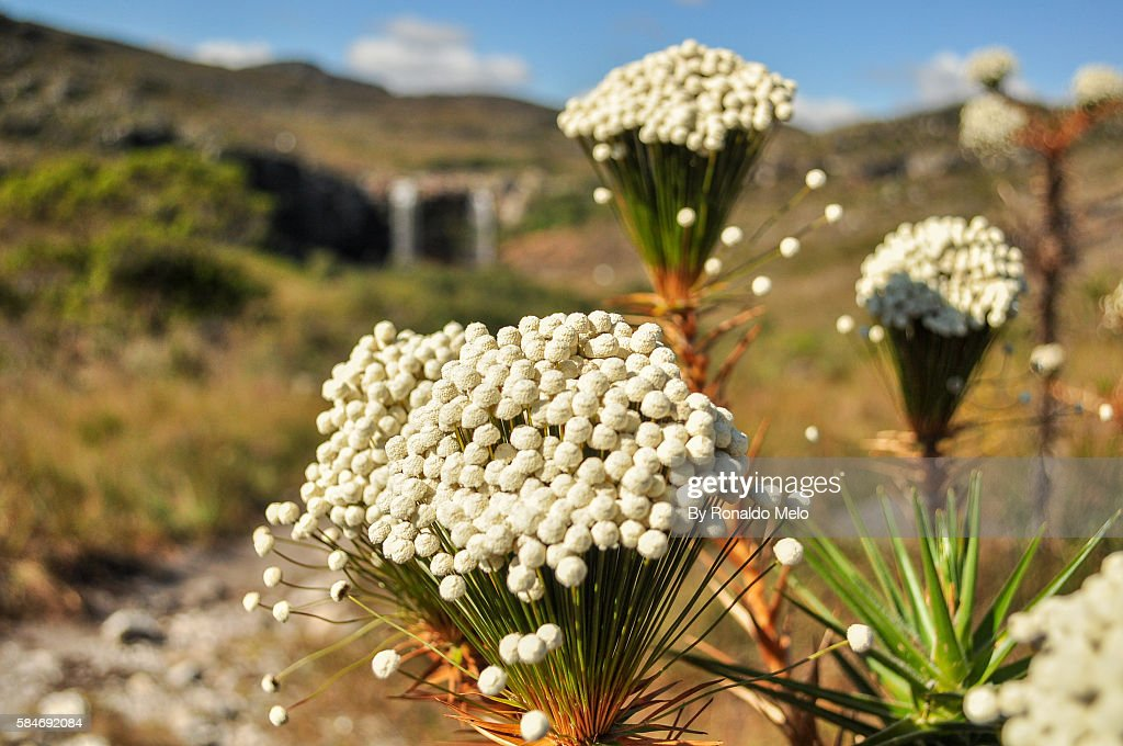 Bouquet of small white flowers called evergreen lapinha da serra mg bouquet of small white flowers called evergreen lapinha da serra mg mightylinksfo