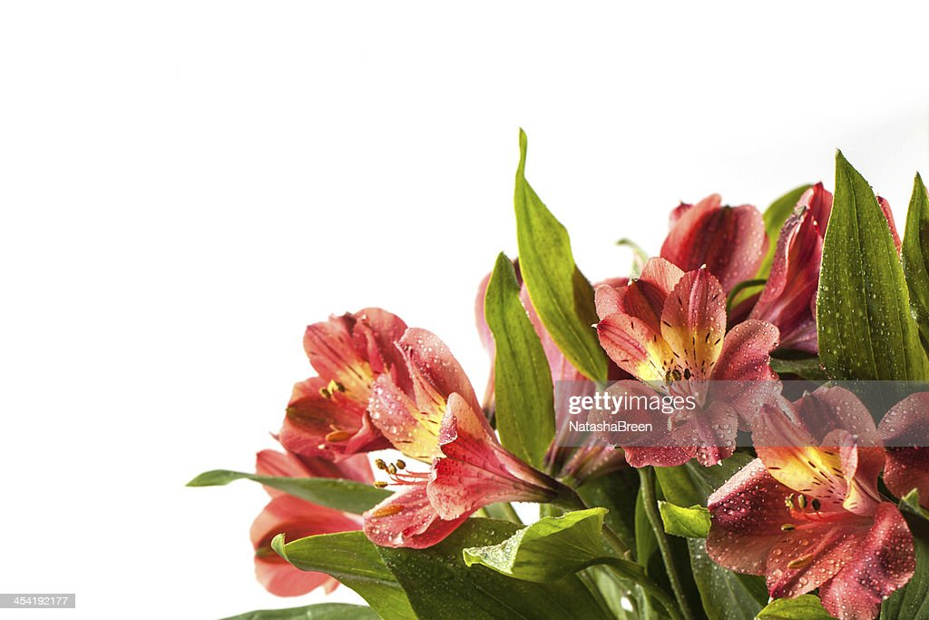 Bouquet of wet red lily over white : Stock Photo