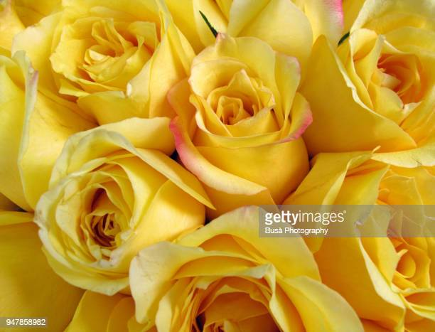 bouquet of yellow roses - yellow roses stock photos and pictures
