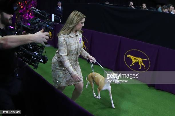 Bourbon a whippet enters the floor for the Best in Show competition during the Westminster Dog Show on February 11 2020 at Madison Square Garden in...