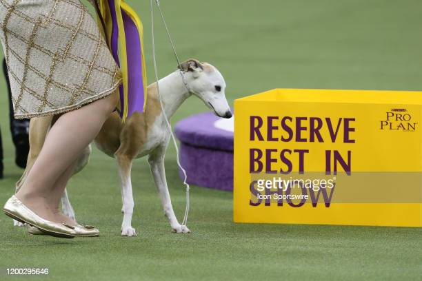Bourbon a whippet wins Reserve Best in Show competition during the Westminster Dog Show on February 11 2020 at Madison Square Garden in New York NY