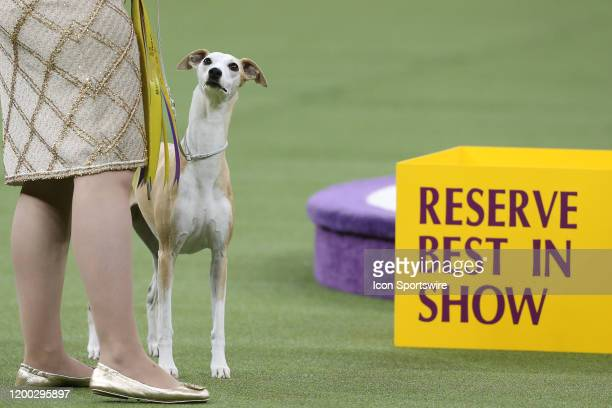 Bourbon a whippet wins Reserve Best in Show during the Westminster Dog Show on February 11 2020 at Madison Square Garden in New York NY