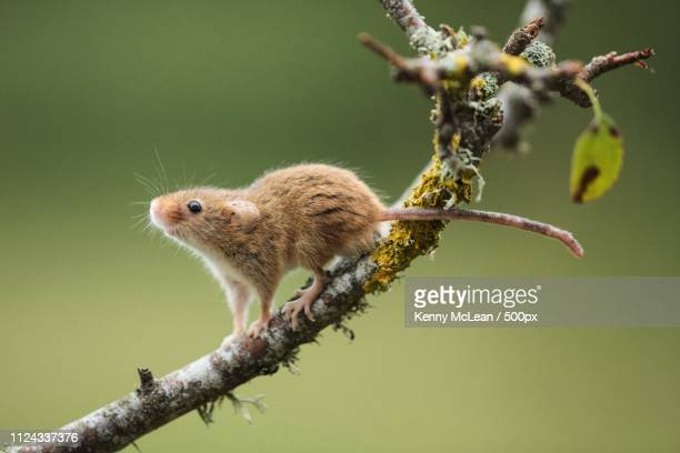 bournemouth, united kingdom - harvest mouse stock pictures, royalty-free photos & images