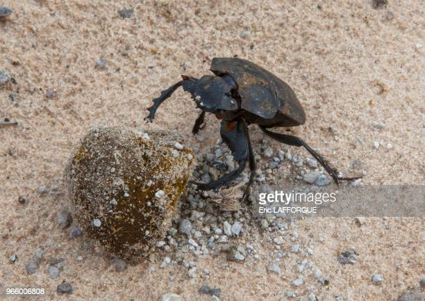Bousier en train de déplacer une pelote Okonjima