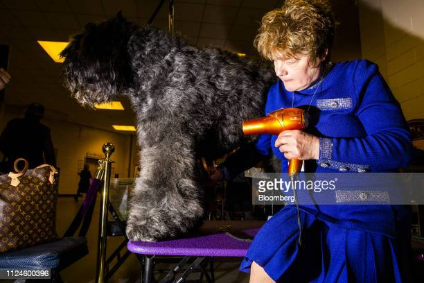 A Bouvier des Flandres named Lars is groomed before competing in Best in Show at the 143rd Westminster Kennel Club Dog Show in New York US on Tuesday...