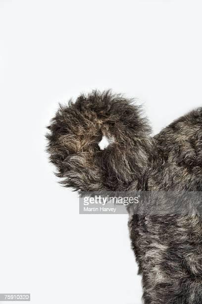 Bouvier des Flandres (canis familiaris) on floor