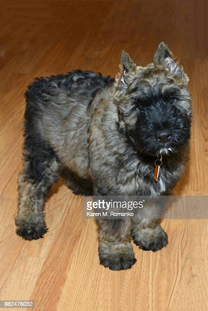 Bouvier puppy dog standing on a wood floor