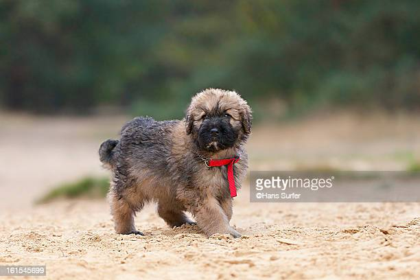 Bouvier Des Flandres Stock Pictures