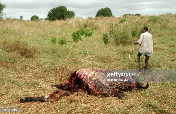 Bow arrow carrying Hadza hunter gatherer bushman Cape buffalo carcass Northern Tanzania