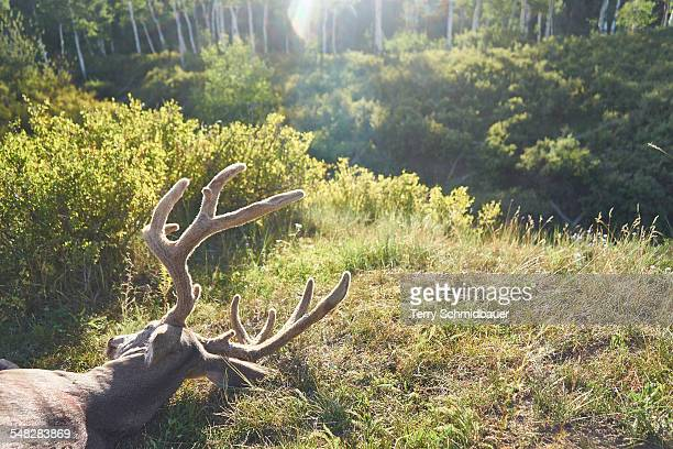 bow hunting for deer in pagosa springs colorado. - dead deer stock photos and pictures
