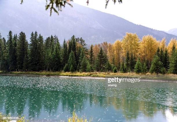bow river in banff town with tree residue - bow river stock pictures, royalty-free photos & images