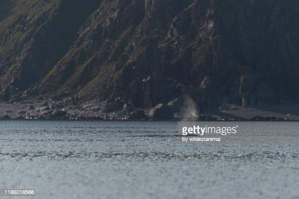 bowhead whale, balaena mysticetus, blow near the coastline, sea of okhotsk, russia. - sea of okhotsk stock pictures, royalty-free photos & images