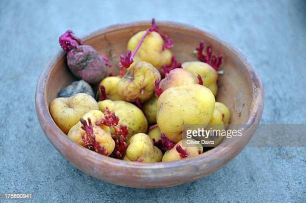 Bowl containing one of the estimated 2,800+ different varieties of potato found in Peru. Photograph taken near the city of Puno, on the shores of...