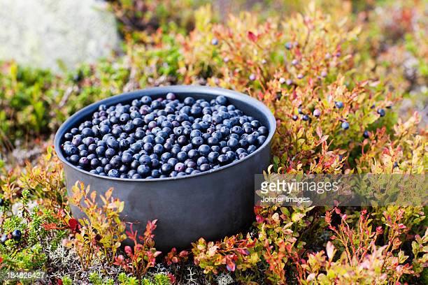Bowl full of bilberries