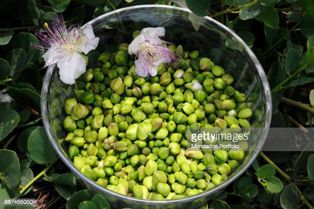 A bowl full of Pantelleria capers just harvested Island of Pantelleria June 2016