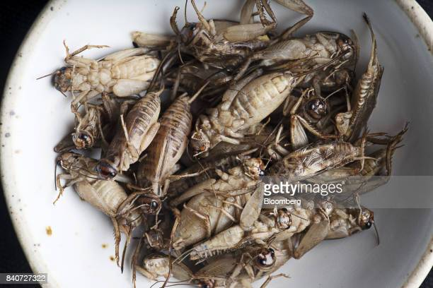 A bowl of white crickets are arranged for a photograph at Insects In The Backyard restaurant at Changchui market in Bangkok Thailand on Wednesday Aug...