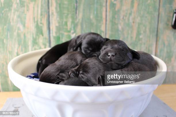 a bowlful of puppies - black labrador stock pictures, royalty-free photos & images