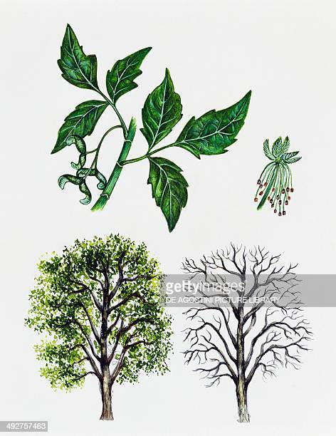 Box elder Boxelder maple or Ashleaved maple Aceraceae tree with and without foliage leaves flowers and fruits illustration