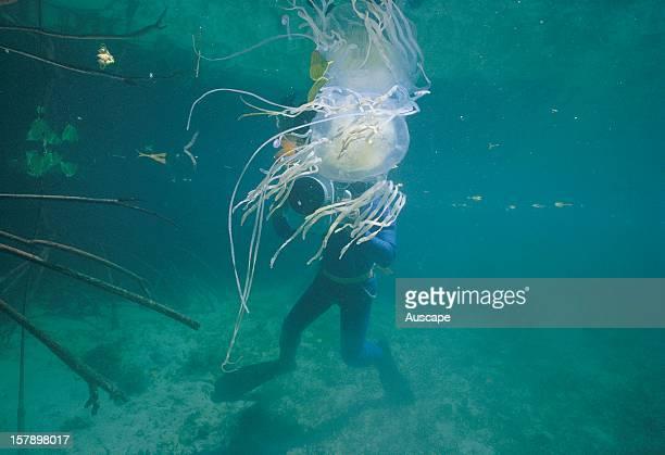 Box jellyfish being filmed by Ben Cropp Port Douglas Queensland Australia