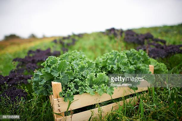 Box of fresh kale on farmland.