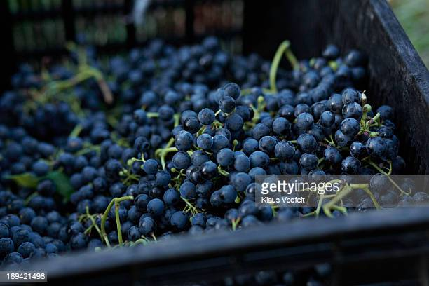Box of Petit Verdot grapes