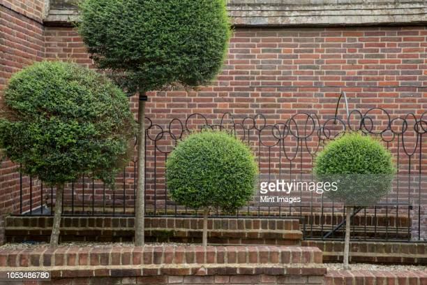 box trees with spherical tops growing along a red brick wall. - トピアリー ストックフォトと画像