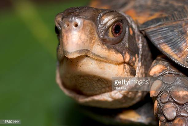 box turtle faces camera with focus on large brown eye - box turtle stock pictures, royalty-free photos & images