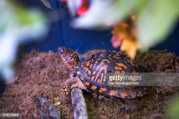 A box turtle hangs out in its mossy habitat at City Wildlife the first and only wildlife rehab organization within Washington DC on February 27 2014...