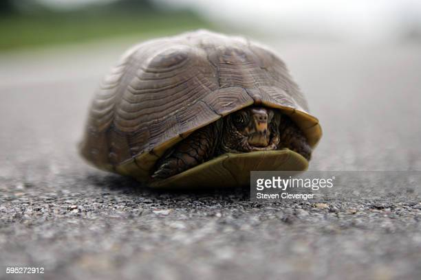 Box turtle hides in its shell, on a Northeastern Oklahoma rural highway. | Location: Northeastern Oklahoma, USA.