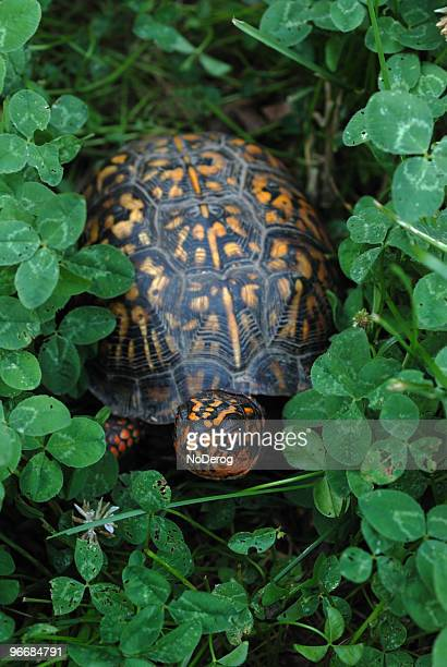 box turtle in clover - box turtle stock pictures, royalty-free photos & images