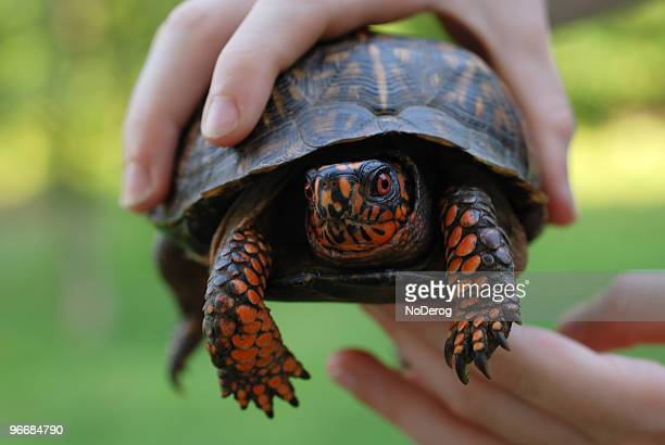 box turtle in hands - box turtle stock pictures, royalty-free photos & images