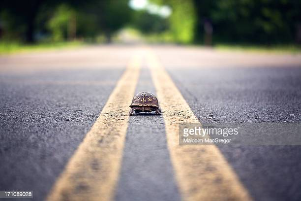 box turtle in the road - box turtle stock photos and pictures