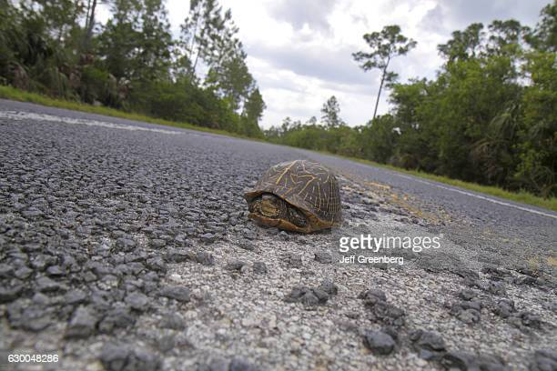 Box turtle on Main Park Road, Everglades National Park.