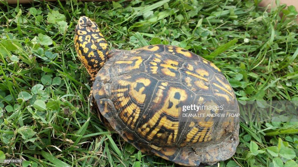 Box turtle on the grassy land : Stock Photo