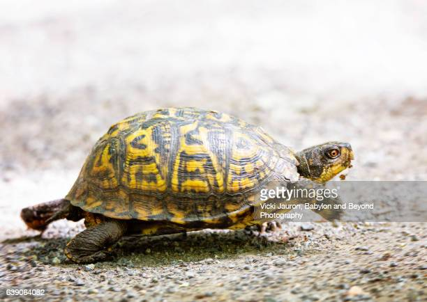 box turtle on the run in wainscott, long island - box turtle stock photos and pictures