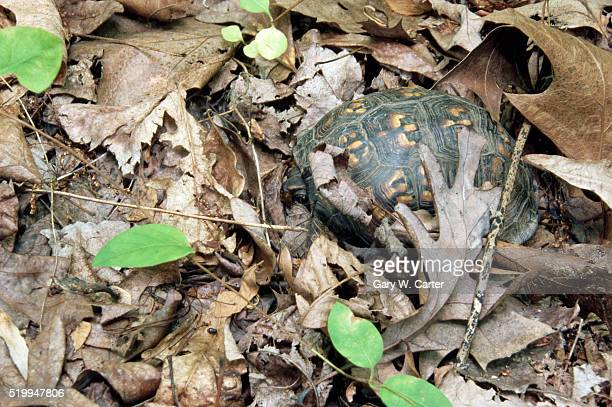 box turtle - box turtle stock photos and pictures