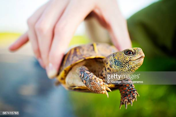box turtle - box turtle stock pictures, royalty-free photos & images